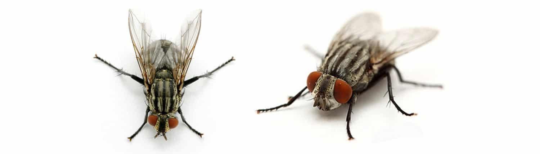 cluster-flies