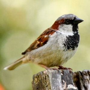 house sparrow 300x300 - Bird Control and Proofing