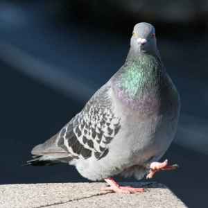 pigeon 300x300 - Bird Control and Proofing
