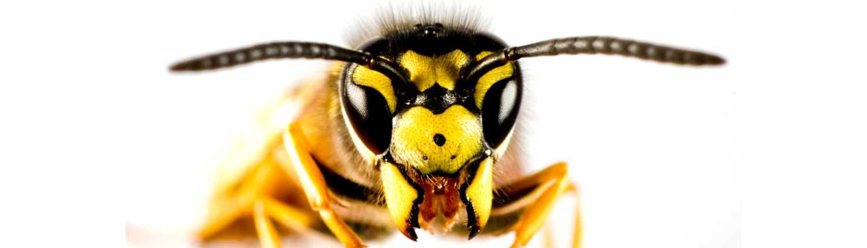 wasp - Wasps