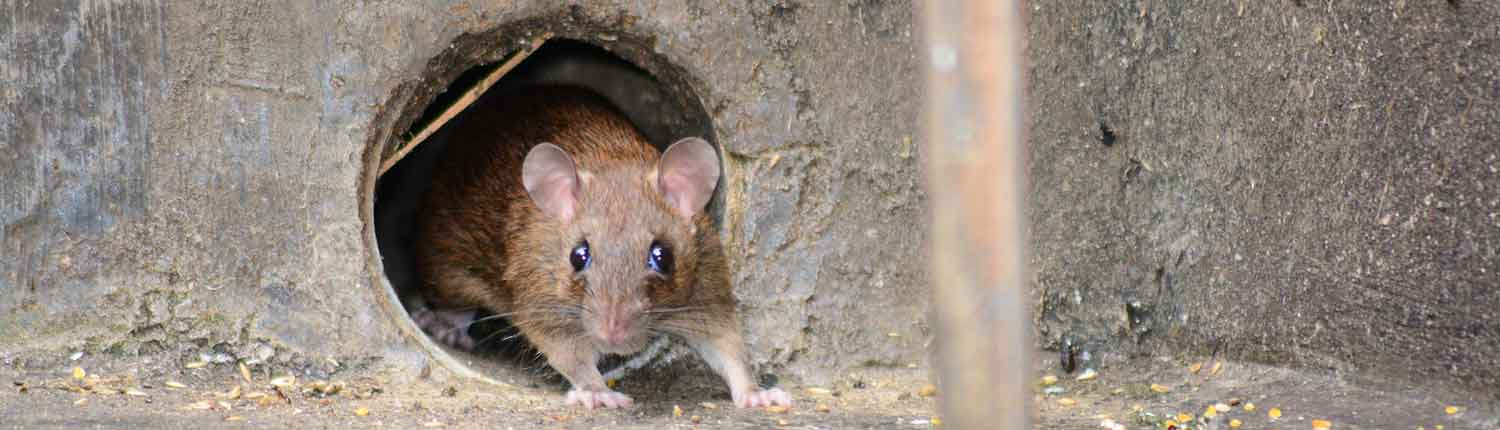 winter rodent control - Winter Pests