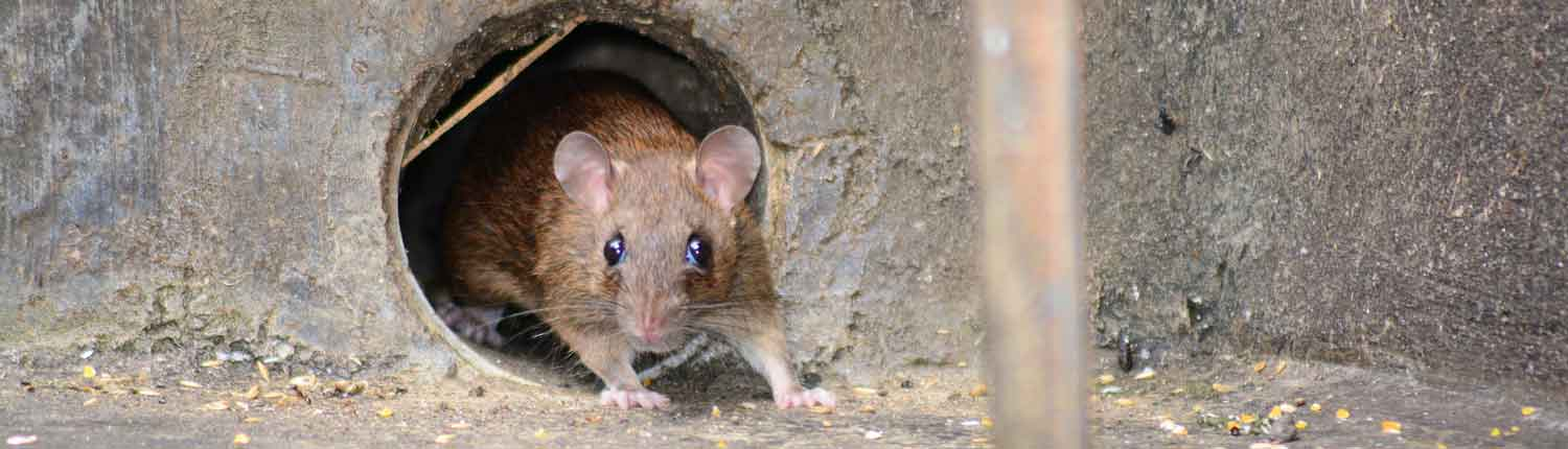 rodent prevention - Rodent Proofing for Winter