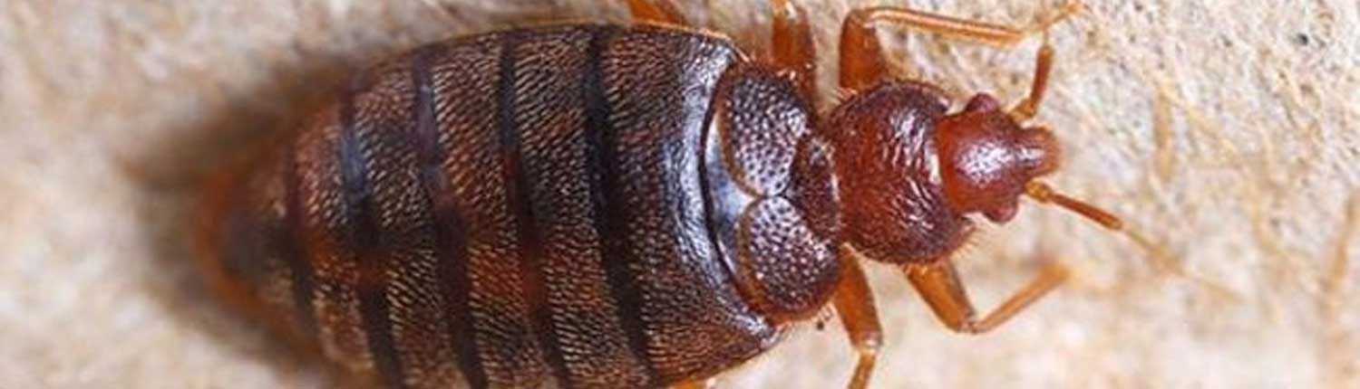 Suddenstrike Pest Control Cheshire   Domestic, Commercial, Agricultural   Bed bug