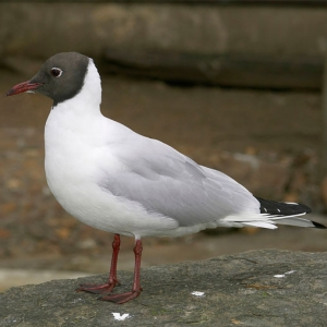 Suddenstrike Pest Control Cheshire | Domestic, Commercial, Agricultural | Black headed gull
