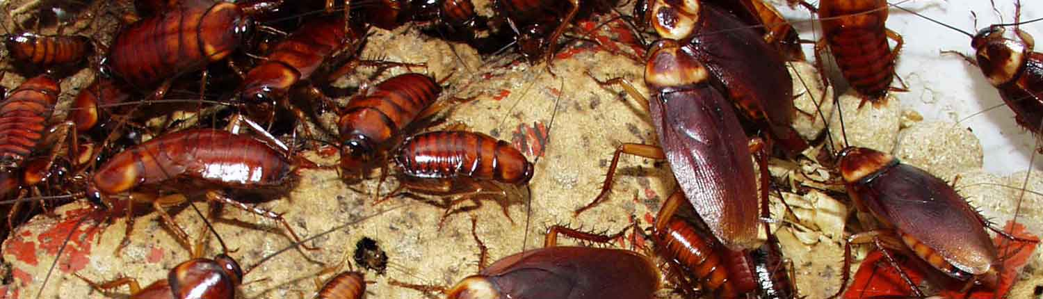 Suddenstrike Pest Control Cheshire | Domestic, Commercial, Agricultural | Cockroaches