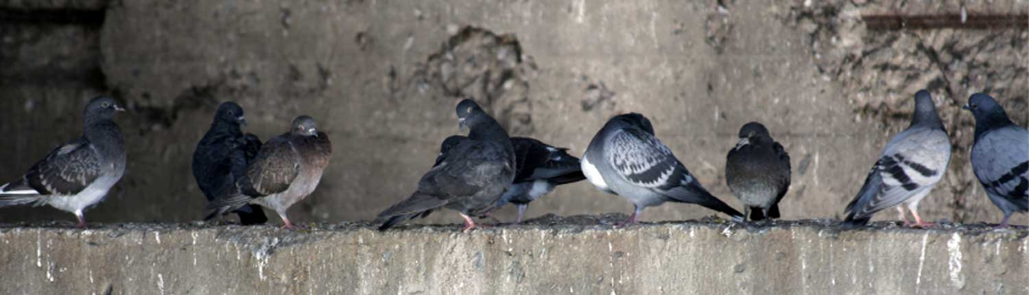 Suddenstrike Pest Control Cheshire | Domestic, Commercial, Agricultural | Pigeons
