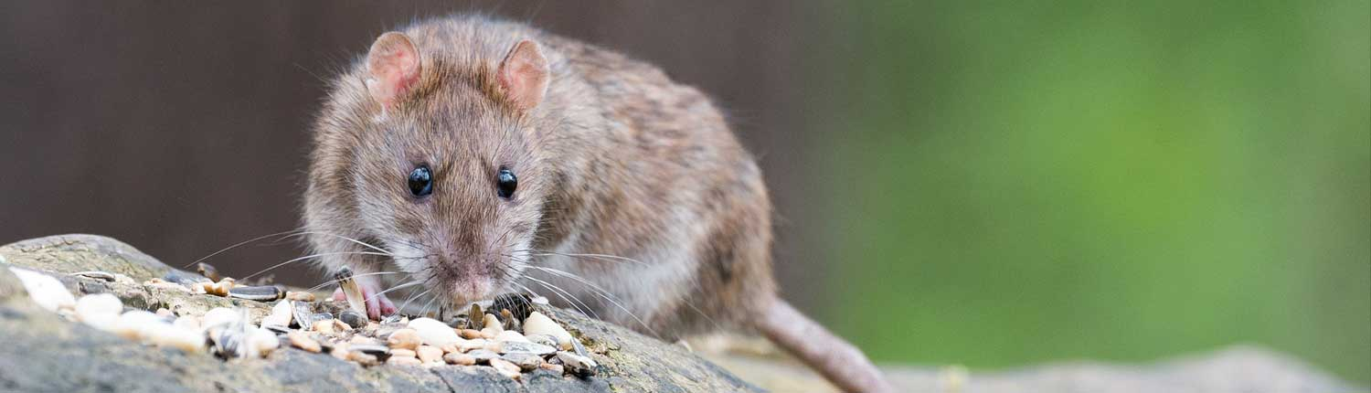 Suddenstrike Pest Control Cheshire | Domestic, Commercial, Agricultural | Eating rat