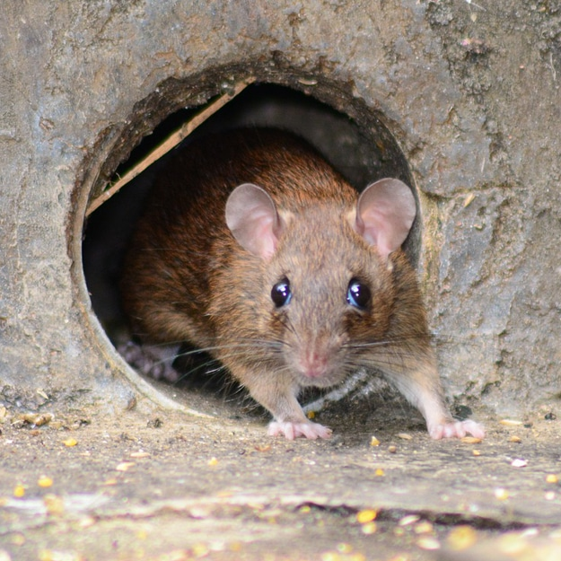 Suddenstrike Pest Control Cheshire | Domestic, Commercial, Agricultural | Emerging rat